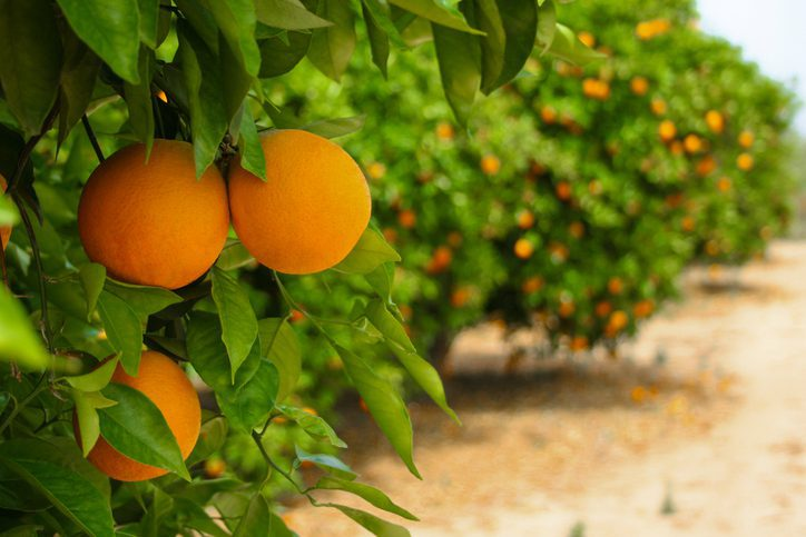 Orange trees in plantation ready to be harvested