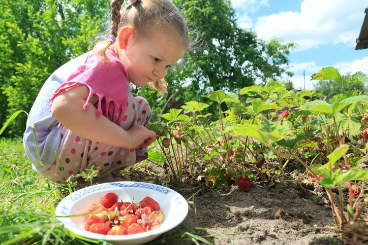 strawberry picking the addison